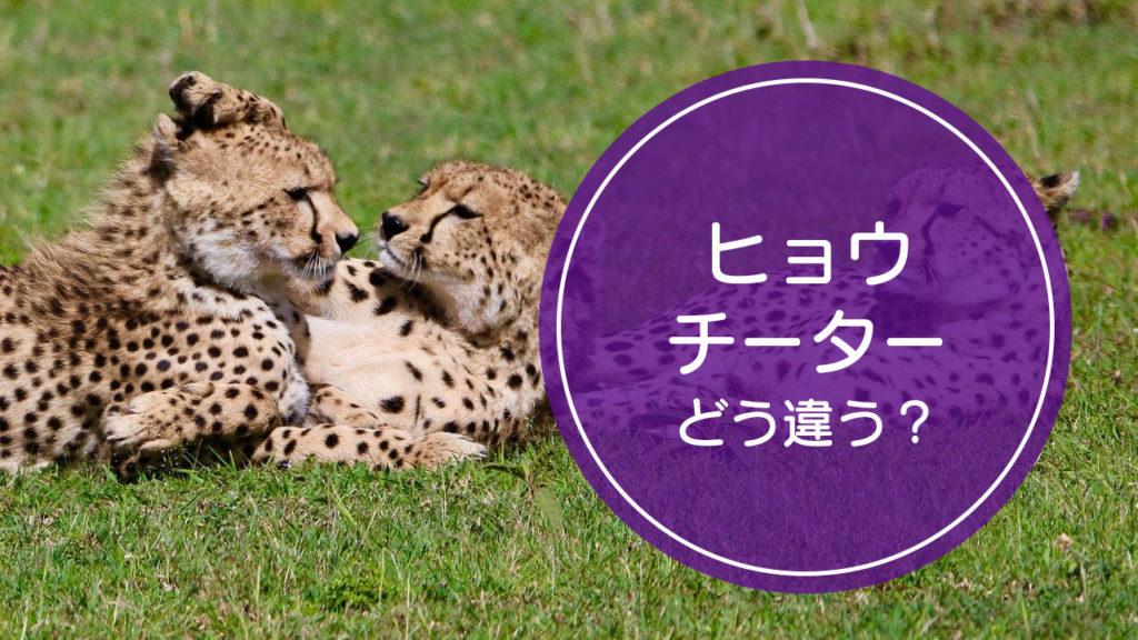 「ヒョウ」と「チーター」の違いをご存知ですか!?