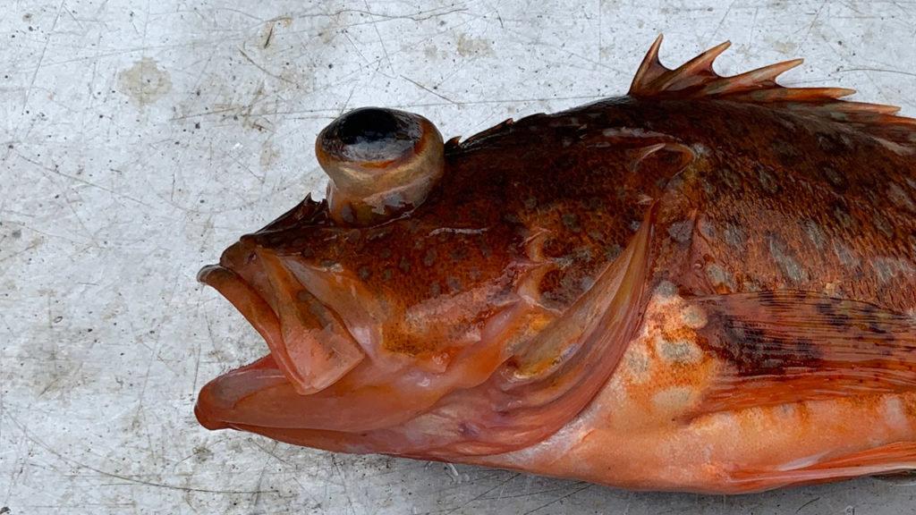 釣ってきた魚を飼う時におこる病気や症状って?